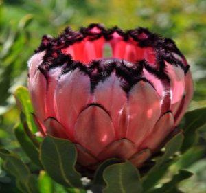Protea Red Robe Resendiz Brothers California Flora