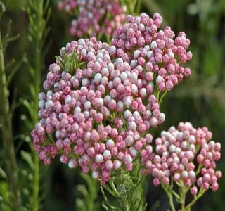 Filler Flowers riceflower_hot_pin