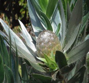 Leucadendron Argenteum Resendiz Brothers Flora