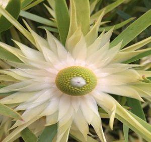 Leucadendron Eucalyptifolium Resendiz Brothers Flora