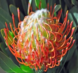 Pincushion Leucospermum Tango Resendiz Brothers Flora